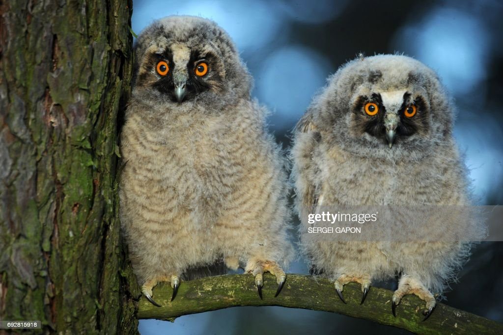 Two long-eared owl chicks sit on a tree branch during sunrise at a wildlife sanctuary near the village of Vygonoshchi, some 270 km southwest of Minsk, on June 6, 2017. / AFP PHOTO / Sergei GAPON