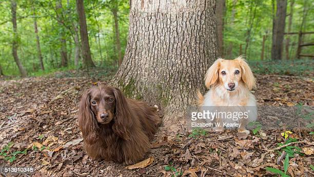 Two longhaired dachshunds near a tree.