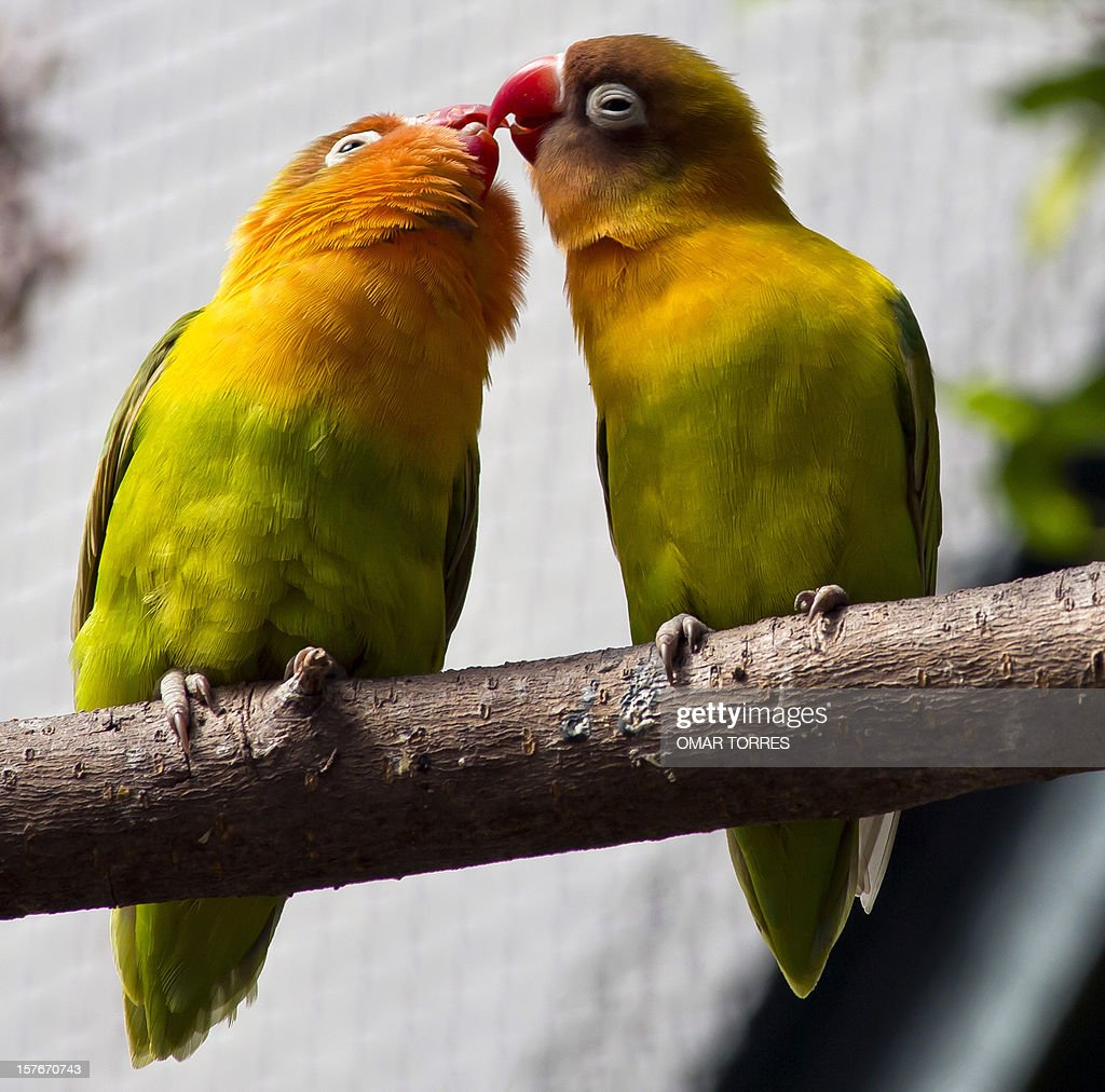 Two lovebirds (Agapornis) remain on a branch at the Abraham Lincoln park in Mexico City on December 5, 2012. AFP PHOTO/OMAR TORRES