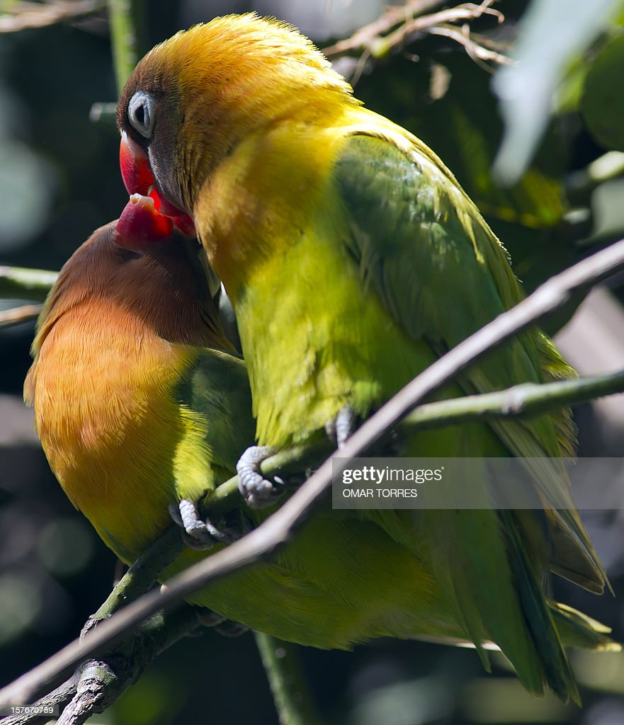 Two lovebirds (Agapornis) remain on a branch at the Abraham Lincoln park in Mexico City on December 5, 2012.