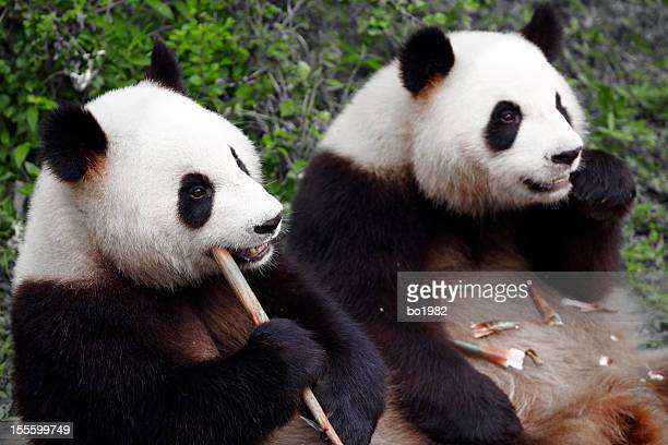 two lovely panda eating bamboo shoots