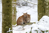 Mother and child Lynx sitting in the snow