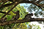 Two Macaque on tree