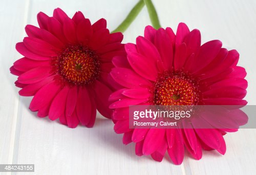Two magenta gerbera flowers together.