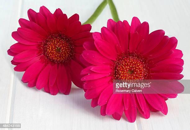 Two magenta gerbera flowers together.