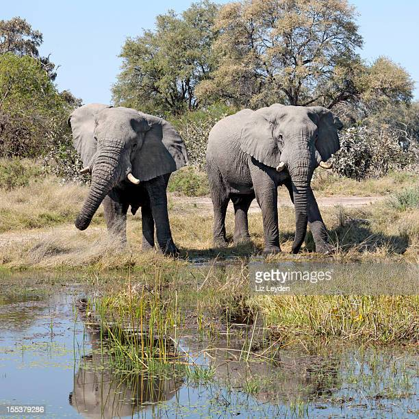 Two male African Elephants, Moremi GR, Botswana