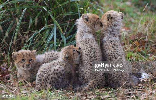 Two male and two female as yet unnamed Southern Cheetah cubs play in their enclosure as they make their public debut at Port Lympne Wild Animal Park...