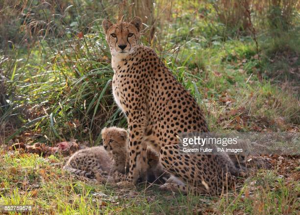Two male and two female as yet unnamed Southern Cheetah cubs with their mother Izzy as they make their public debut at Port Lympne Wild Animal Park...