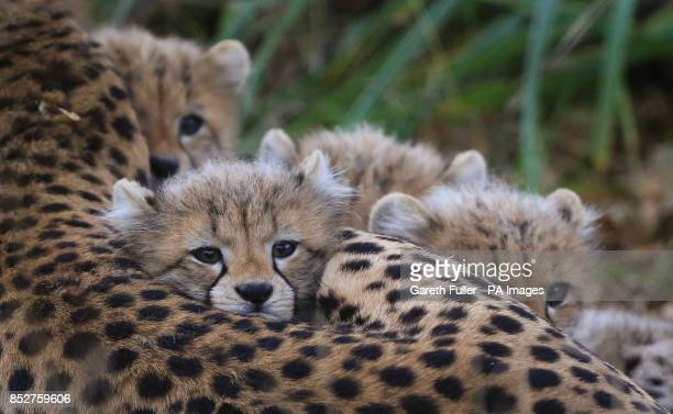 Two male and two female Southern Cheetah cubs lay with their mother Izzy as they make their public debut at Port Lympne Wild Animal Park near Ashford...