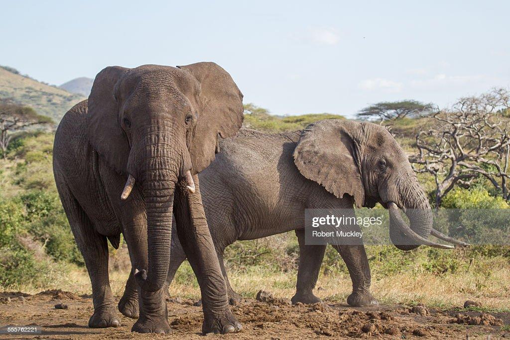 Two male elephants