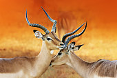 Impala affection ( Aepyceros melampus ) Two male impala's having an intimate moment during a time of battle, the rutting season.