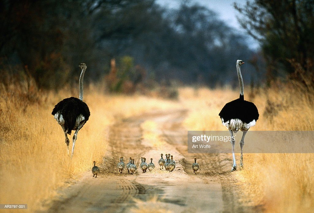 Two male ostriches (Struthio camelus) with chicks, Botswana : Stock Photo