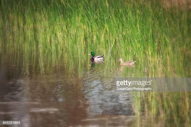 Two Mallard Ducks in Pond