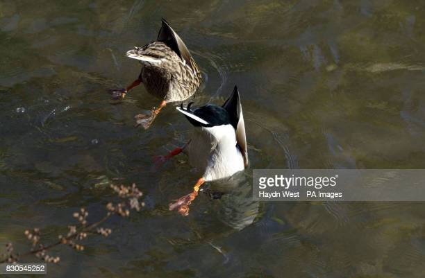 Two mallard ducks on Derbyshire's River Wye in Bakewell forage for food in the shallows on a sunny day in Spring 2001