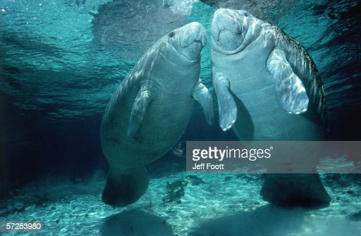 Two manatees swim below surface of shallow blue water. Trichechus manatus.