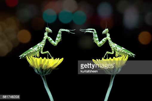 Two mantis sitting on flowers fighting