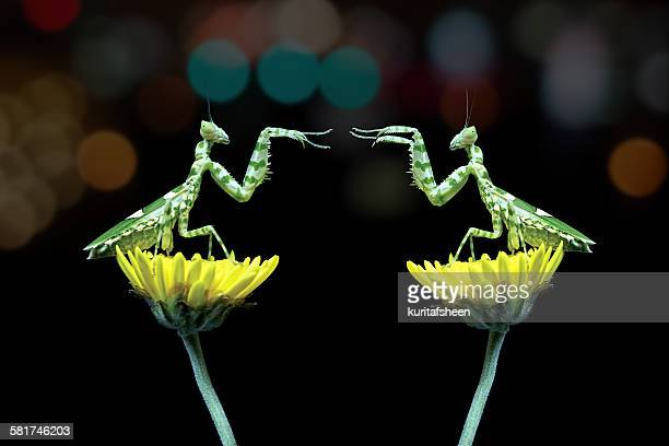 Two mantis sitting on flowers fighting, Indonesia