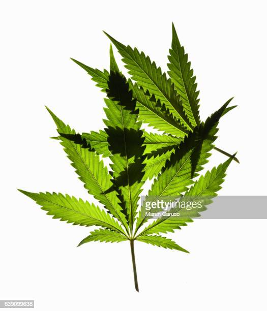 Two marijuana leaves