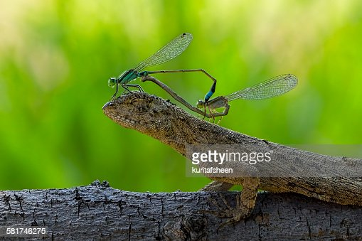 Two mating damselflies sitting on the head of a lizard