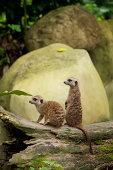 Two Meerkats (Suricata Suricatta) At The Singapore Zoo