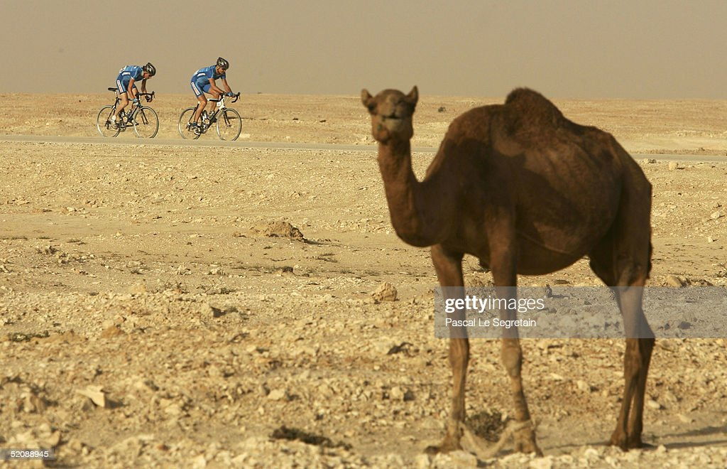 Two members of the Shimano team ride past a camel during the first stage of the Tour of Qatar cycling race between al-Khor Corniche and Doha Hyatt Plaza on 31 January 2005 in Doha, Qatar. Belgian Tom Boonen won the stage.