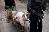 Two men are carrying a pig on a wheelbarrow ( Madagascar)