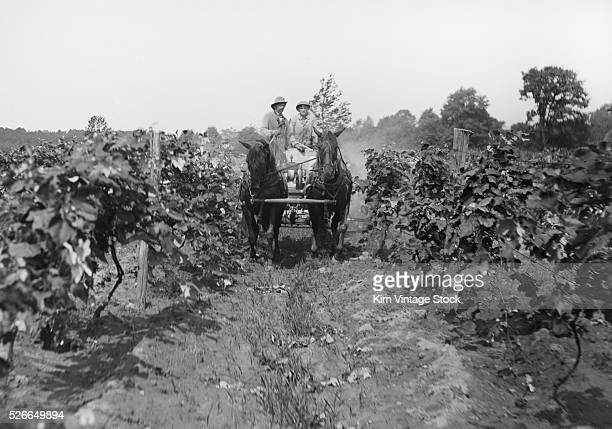Two men drive what appears to be a horsedriven spray vehicle and treat wine grapes
