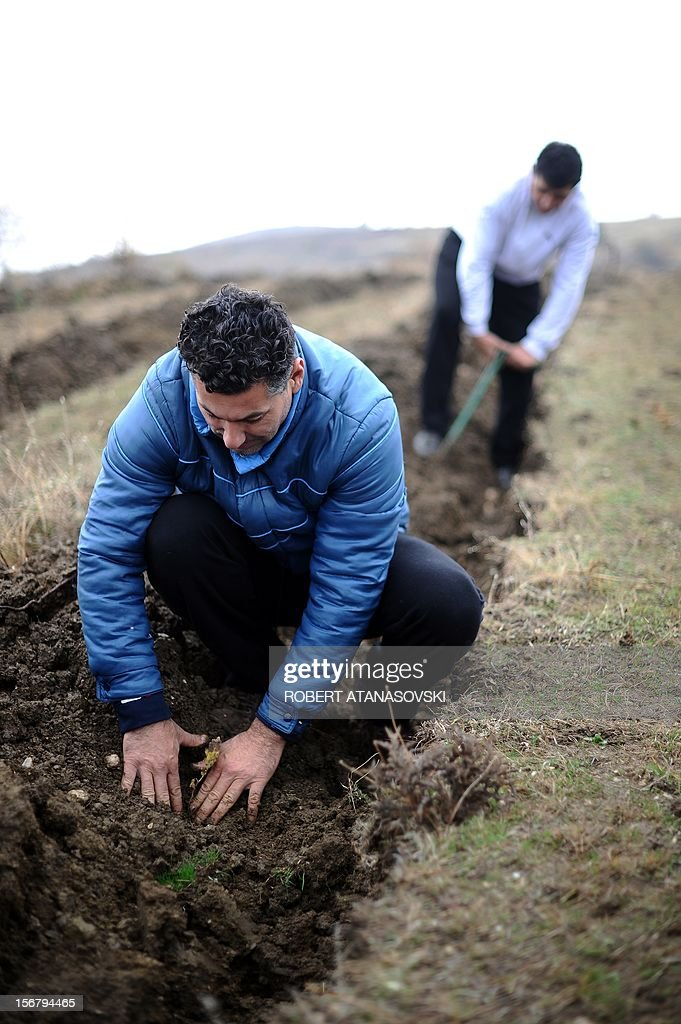 "Two men plant trees on a hill slope near Skopje on November 21, 2012. Macedonia is planting today about 3 million trees throughout the country under the motto ""Tree Day - Plant Your Future'."