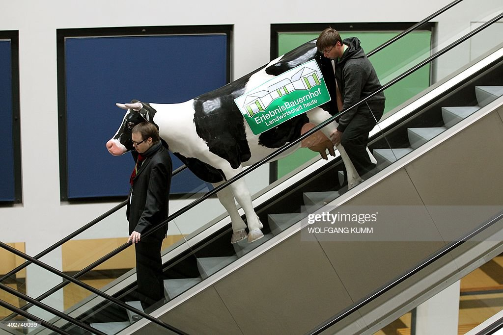 Two men transport a fake cow on an escalator as part of the preparations for the agricultural fair 'Gruene Woche' (Green Week) in Berlin, Germany on January 15, 2014. The cow named 'Elsa' is part of an ad campaign for an event farm at the Green Week, running from January 17 - 26, 2014. AFP PHOTO / DAP/WOLFGANG KUMM GERMANY OUT