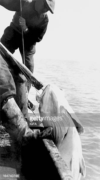 Two men use a gaff to hoist a 685 pound white seabass onto a boat near the Coronado Islands in Mexico on June 13 1937