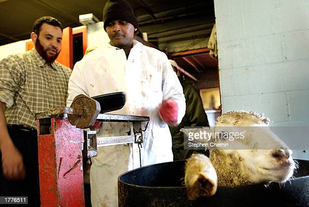 Two men weigh a sheep before it is sacrificed at an animal butchery as part of the Muslim Eid al Adha holiday February 11 2003 in the New York City...