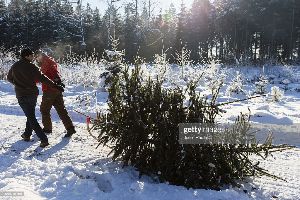 Two men with a sled pull a Christmas tree they chose and cut down themselves in a forest on December 8, 2012 in Fischbach, Germany. Forestry officials in the state of Saxony officially opened the 2012 Christmas tree season for people who want to retrieve their tree from designated forests rather than just buying it readily cut.