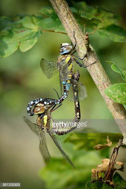 Two Migrant hawkers, Aeshna mixta, copulating