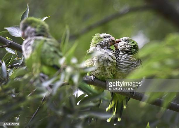 Two monk parakeets also known as the quaker parrot rest on a tree at the Atena park of Madrid on September 15 2016 The monk parakeet as an invasive...
