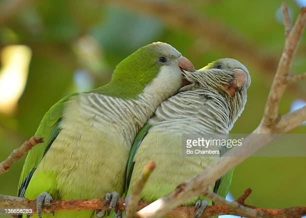 Two Monk Parakeets