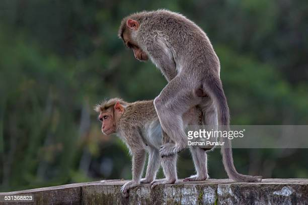 Apologise, but, Two monkeys having sex has touched