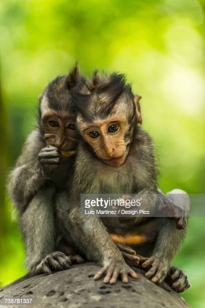 Two monkeys sits closely together on a rock, Monkey Forest