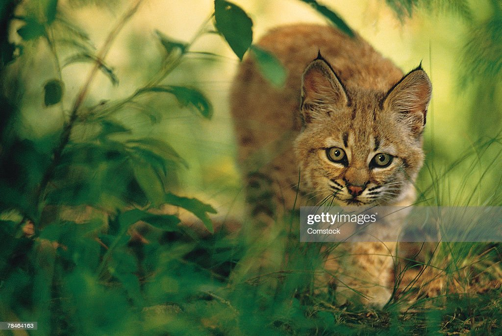 Two month old bobcat kitten in foliage , Montana