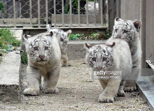 Two month old white tiger cubs play on the ground at the Tobu Zoo in Miyashiro in Saitama prefecture north of Tokyo on April 19 2015 Four male white...