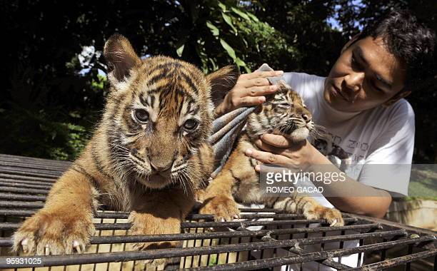 Two months old Sumatran tigers named Puji a male and Wati a female born in captivity at Jakarta's Ragunan Zoo are attended to by a zoo caretaker on...
