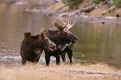 Two Moose at Riverbank