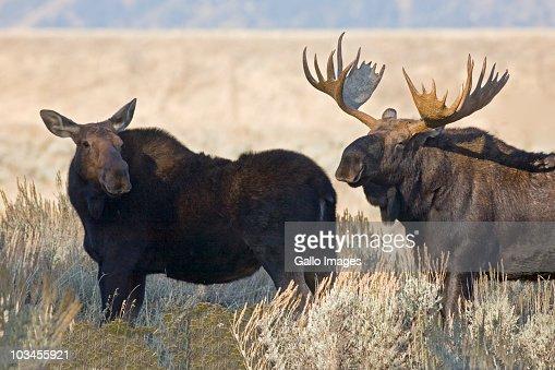 Two moose, Grand Teton National Park, Wyoming, USA