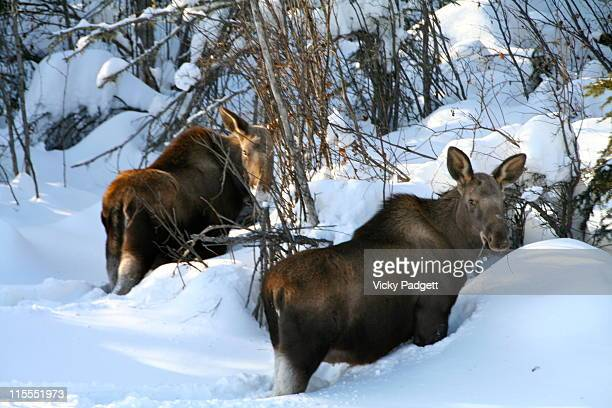 Two moose in snow