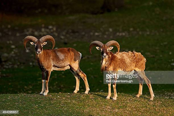 Two Mouflon sheep standing in the sun