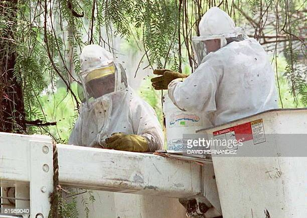 Two municiple workers for Mexico City try to destroy a nest of suspected killer bees in an uppper class suburb of Mexico City 05 June The bees...