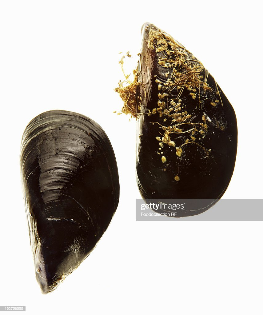 Two mussels