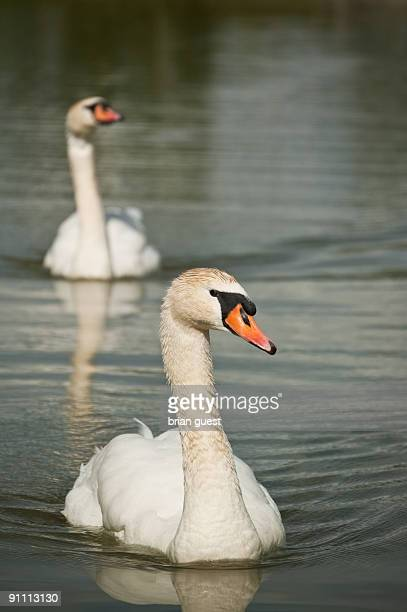 Two Mute Swans Swimming