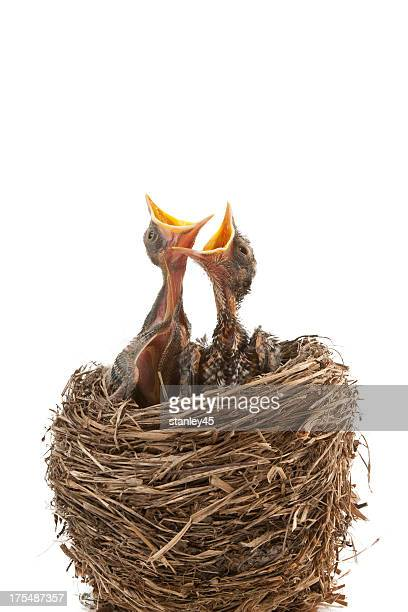 Two newborn birds in nest waiting to be fed with mouths open