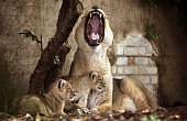 Two newborn lion cubs take their first steps with their mother Abi in their new enclosure at London Zoo on August 13 2009 in London England The two...