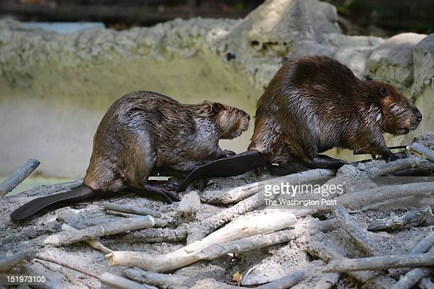 Two north american beavers are pictured There are three in the exhibit which were born in june of 2000 The Smithsonian National Zoological Park opens...